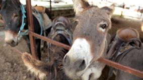 Herde von Eseln an auf der Ranch stock video footage