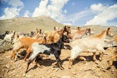 Herde von Gebirgsziegen, gehend auf den Hintergrund von den Bergen Lizenzfreie Stockbilder