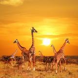 Herde von Giraffen in der afrikanischen Savanne gegen Sonnenunterganghintergrund Nationalpark Serengeti tanzania Lizenzfreies Stockfoto