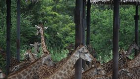 Herde von Giraffen in Safari Park bangkok stock video footage