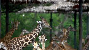 Herde von Giraffen in Safari Park bangkok stock footage