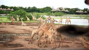 Herde von Giraffen in Safari Park bangkok stock video