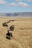 Herde von Gnu (Wildbeest) weg gehend stockfotografie