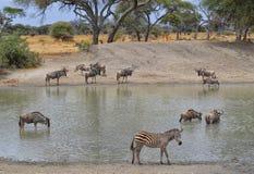 Herde von Gnus, von Zebra und von Impala Stockfoto