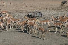 Herde von Impala Lizenzfreie Stockfotos