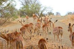 Herde von Impala Lizenzfreies Stockbild