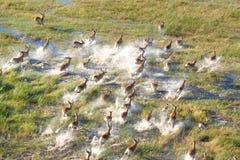 Herde von Impalas Stockbilder