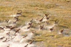 Herde von Impalas Lizenzfreies Stockfoto