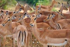 Herde von Impalas (Aepyceros melampus) Lizenzfreie Stockfotos