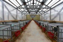 Herde von jungen Kühen im Kuhstall Lizenzfreie Stockfotografie