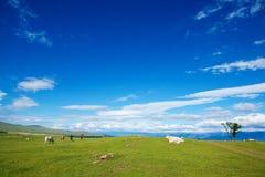 Herde von Kühen auf alpiner ökologisch sauberer Weide im Sommer DA Lizenzfreie Stockfotos