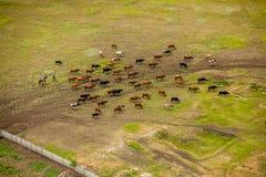 Herde von Kühen auf dem Feld Stockfotos