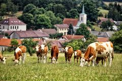 Herde von Kühen auf der Weide durch das Dorf stockfotos