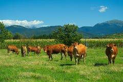 Herde von Kühen auf Weide im italienischen Bauernhof während des Sommers lizenzfreies stockfoto