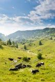 Herde von Kühen von den italienischen Alpen Lizenzfreie Stockfotos
