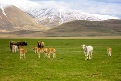 Herde von Kühen in einem Tal Lizenzfreie Stockbilder