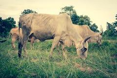 Herde von Kühen im Ackerland Stockfoto
