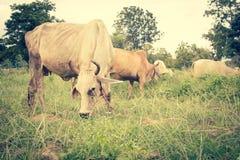 Herde von Kühen im Ackerland Stockbild