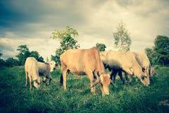 Herde von Kühen im Ackerland Stockfotografie