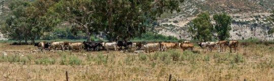 Herde von Kühen, Kefalonia Griechenland stockfotografie