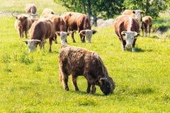 Herde von Kühen mit irgendeinem weiden lassendem Hochlandvieh Stockfotos