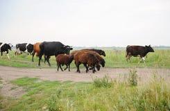 Herde von Kühen und Schafe laufen auf die Straße Feld durch Stockfotografie