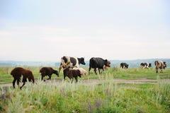 Herde von Kühen und Schafe laufen auf die Straße Feld durch Stockfoto