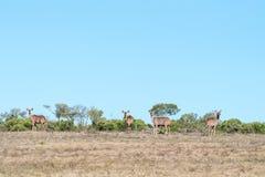 Herde von kudu Kühen Stockfotografie