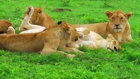 Herde von Löwen stock video