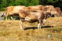Herde von Milchkühen in Livigno, Italien Stockfotografie