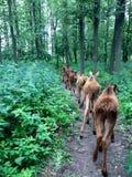 Herde von moooses stockfoto
