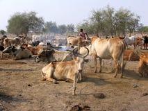 Herde von nilotic Kühen, Sudan Lizenzfreies Stockfoto
