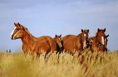 Herde von Pferden Lizenzfreie Stockbilder