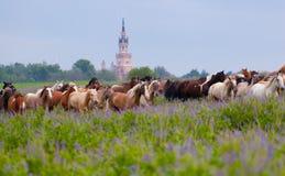 Herde von Pferden Stockbilder