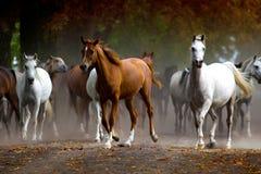Herde von Pferden auf der Dorfstaubstraße Stockbild