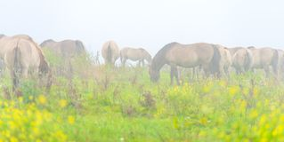 Herde von Pferden auf einem nebelhaften Gebiet im Herbst Stockbild