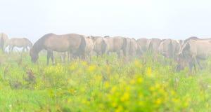 Herde von Pferden auf einem nebelhaften Gebiet im Herbst Lizenzfreie Stockfotografie