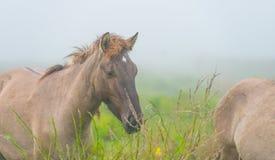Herde von Pferden auf einem nebelhaften Gebiet im Herbst Lizenzfreie Stockfotos