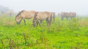 Herde von Pferden auf einem nebelhaften Gebiet im Herbst Lizenzfreies Stockbild