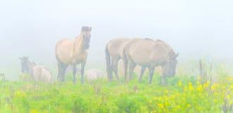 Herde von Pferden auf einem nebelhaften Gebiet im Herbst Stockfotografie