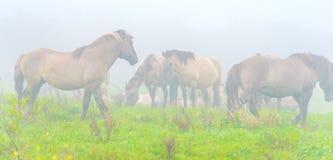 Herde von Pferden auf einem nebelhaften Gebiet im Herbst Lizenzfreie Stockbilder