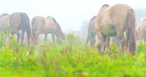 Herde von Pferden auf einem nebelhaften Gebiet im Herbst Stockbilder