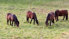 Herde von Pferden auf Weide stockfoto