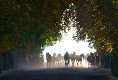 Herde von Pferden in der nebeligen chesnut Allee Stockfotografie