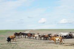 Herde von Pferden und von Kühen in einer trockenen Steppe Lizenzfreies Stockfoto