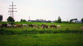 Herde von Pferden wird auf Wiese weiden lassen stock video footage