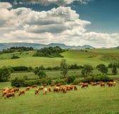 Herde von roten Kühen auf der Bergwiese Stockfotografie