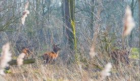 Herde von Rotwild in einem Naturpark im Wintersonnenlicht Lizenzfreies Stockfoto