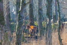 Herde von Rotwild in einem Naturpark im Wintersonnenlicht Stockbilder