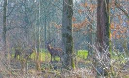 Herde von Rotwild in einem Naturpark im Wintersonnenlicht Lizenzfreies Stockbild